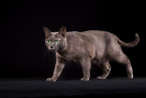 Фото №5 - Почти как люди: самые умные породы кошек