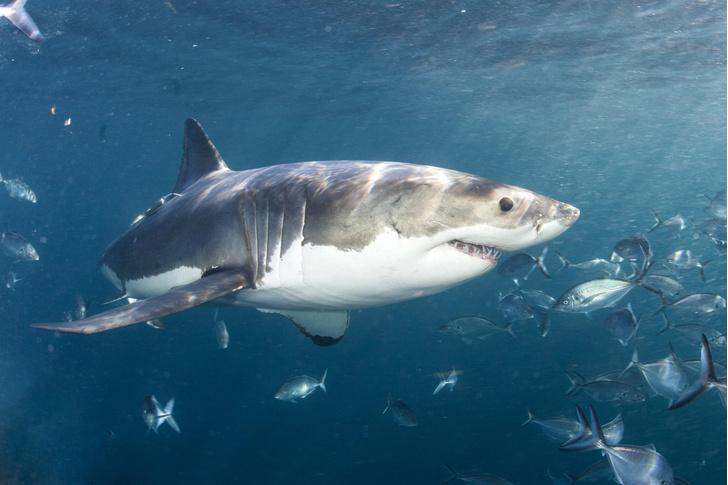 Фото №1 - В районе Австралии стало меньше акул