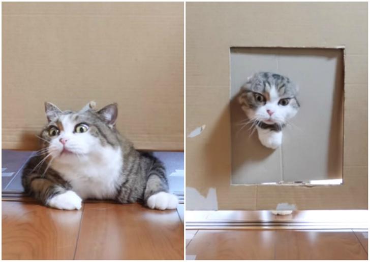 Фото №1 - Видеоэксперимент: в насколько узкую щель пролезут коты?