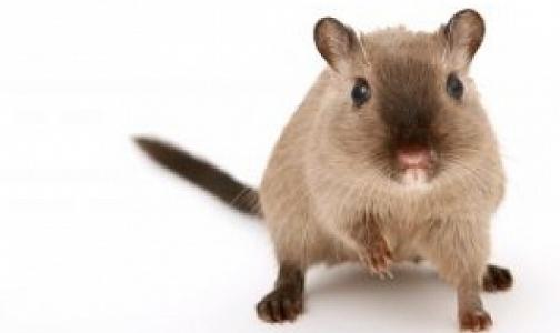 Фото №1 - За год 13 петербуржцев заразились «мышиной болезнью»
