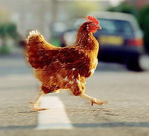 Фото №1 - Почему курица перебегает дорогу прямо перед машиной?