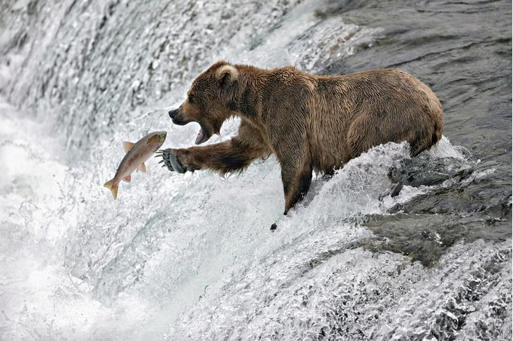 Фото №1 - Почему лососи идут на нерест все сразу, становясь очень уязвимыми для хищников?