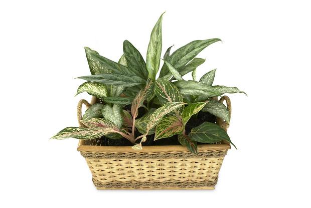 Фото №5 - 7 растений, которые помогут очистить воздух в комнате