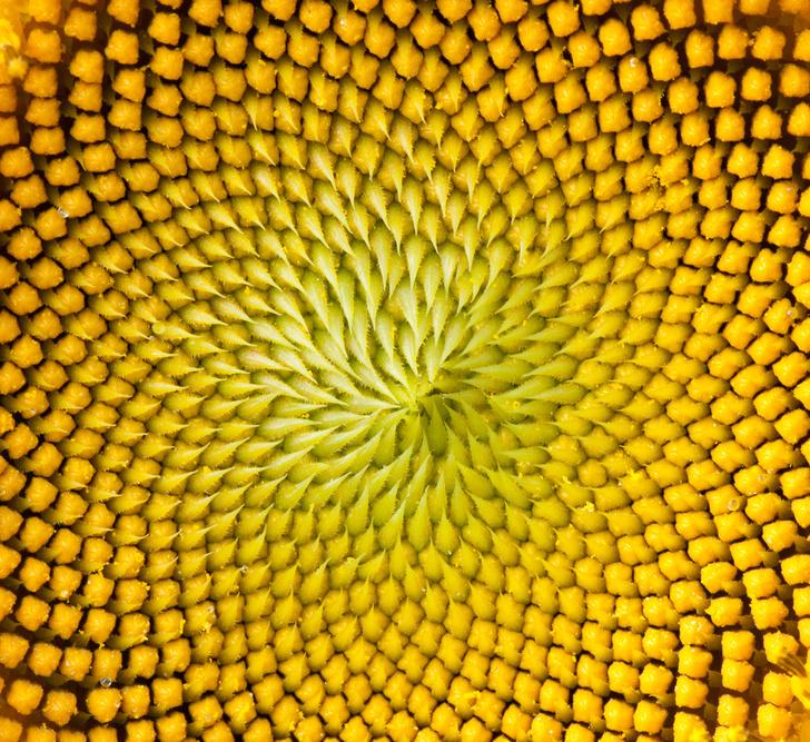 Фото №1 - В цветке подсолнечника обнаружена последовательность Фибоначчи