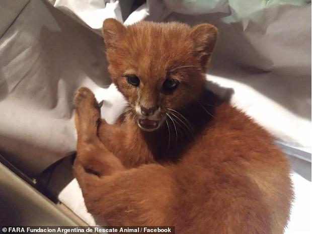 Фото №3 - Девушка подобрала на улице милого бездомного котенка, а он оказался диким ягуарунди (видео)