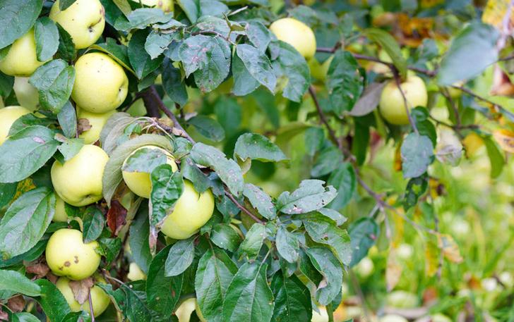 Фото №3 - Как заготавливали яблоки сто лет назад: шесть простых рецептов