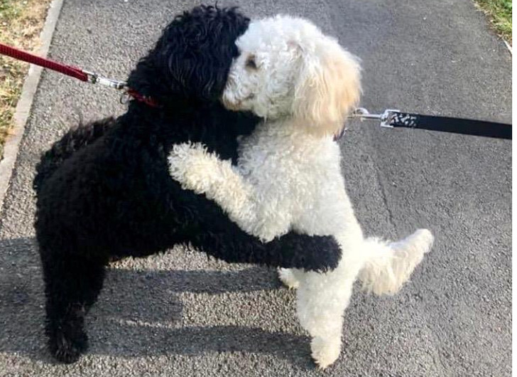 Фото №1 - Два пуделя случайно столкнулись на прогулке, и оказалось, что это родные брат и сестра