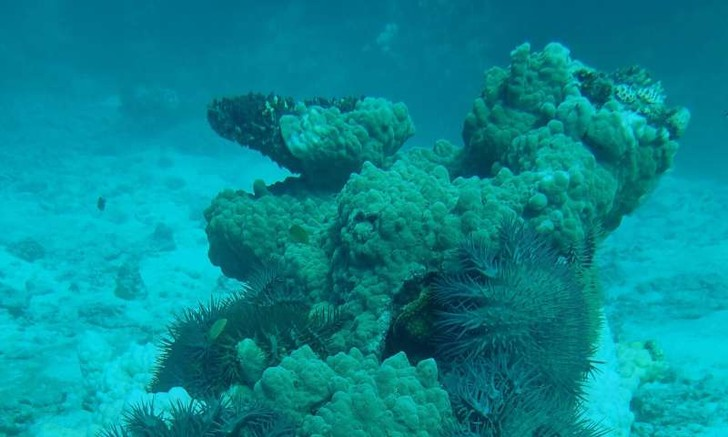 Фото №1 - Ученые нашли рыб, питающихся ядовитыми морскими звездами