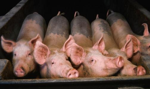Фото №1 - В Эстонии и Финляндии введен запрет на ввоз свинины из Петербурга