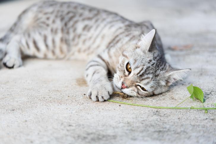 Фото №1 - Ученые объяснили, почему кошки без ума от кошачьей мяты