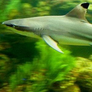 Фото №1 - Акулы-неженки