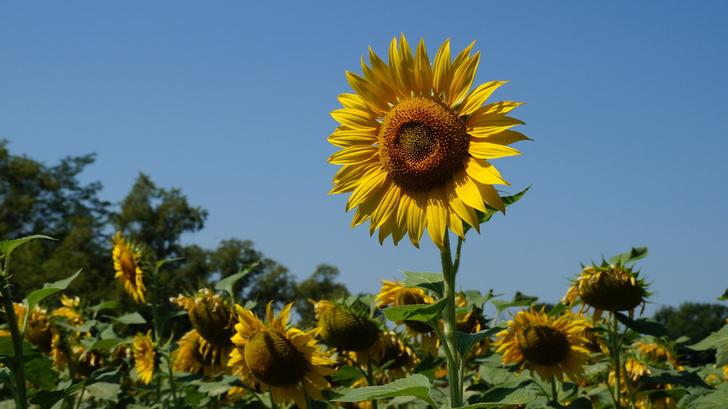 Фото №1 - Ученые объяснили, почему подсолнухи поворачиваются к солнцу