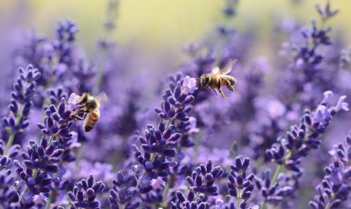 Фото №1 - Пчел научили определять коронавирус мгновенно: им помогает любовь к сахару и язычок