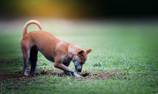 Фото №1 - Почему собаки копают ямы и закапывают вещи?