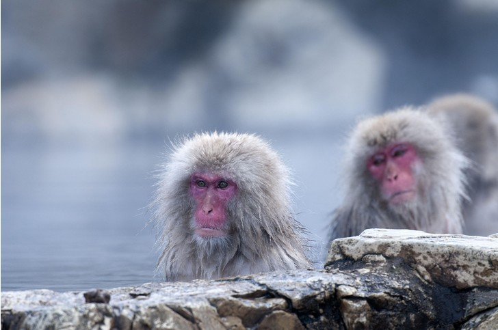 Фото №1 - Как макаки спасаются от стресса