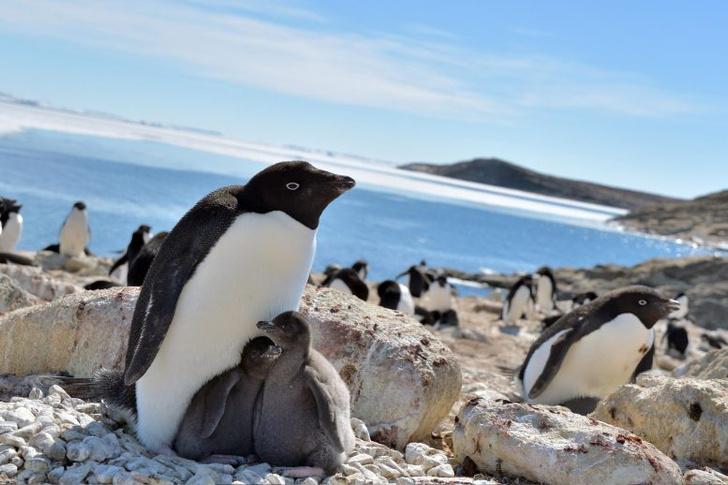 Фото №1 - Пингвины Адели могут выиграть от глобального потепления