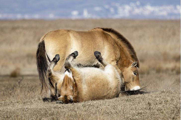 Фото №4 - Лошадь, которой нет: как возрождали исчезающих лошадей Пржевальского. Проект РГО