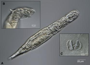 Фото №1 - Биологи оживили коловраток, которые более 20 000 лет провели в вечной мерзлоте