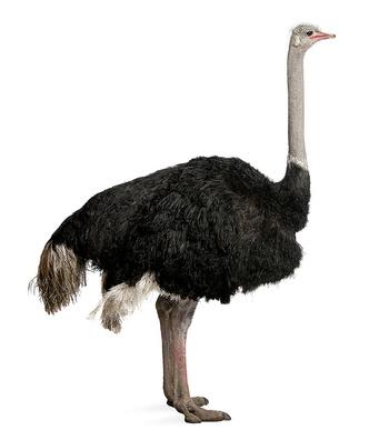 Фото №3 - Бабье царство: Как устроено страусиное общество