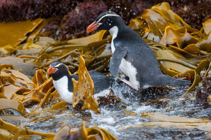 Фото №2 - Повелители Антарктики и не только: 7 мест на планете, где можно встретить пингвинов
