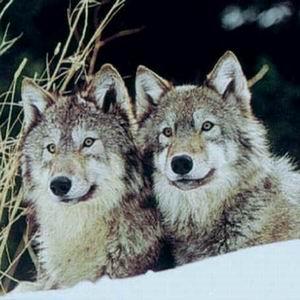Фото №1 - В Южной Корее клонировали волчиц