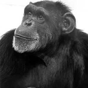 Фото №1 - Умерла шимпанзе, выучившая язык жестов
