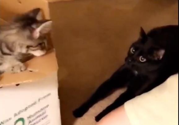 Фото №1 - Смешная реакция кота на котенка, принесенного в дом хозяевами (видео)