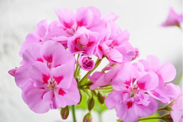 Фото №3 - 9 растений, запаха которых боятся комары