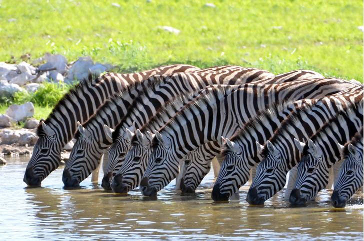 Фото №1 - Полоски зебр оказались бесполезными для маскировки