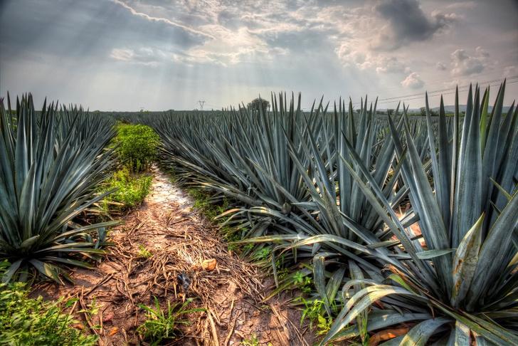 Фото №8 - Подсластить жизнь: 10 натуральных сахарозаменителей с богатой историей