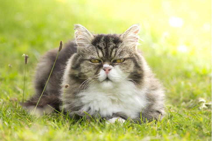 Фото №1 - Ветеринары назвали признаки здорового старения кошек