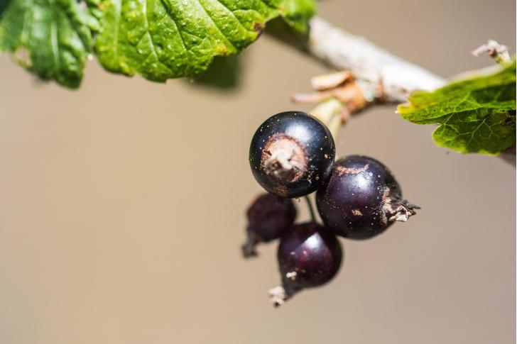 Фото №1 - Ученые назвали ягоду, нормализующую уровень сахара в крови