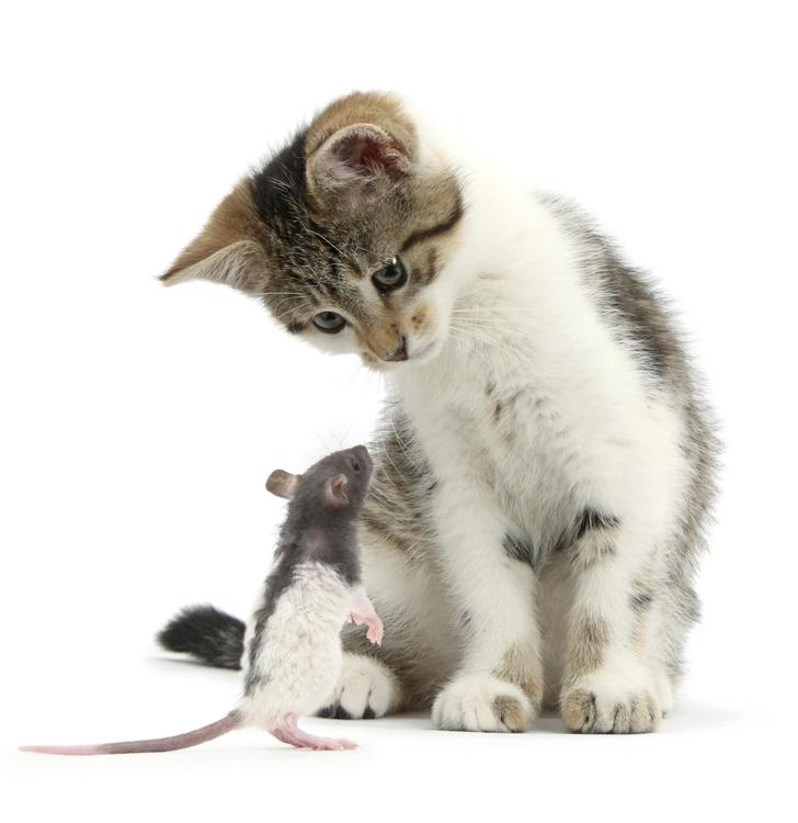Фото №1 - Хороши ли кошки в борьбе с крысами
