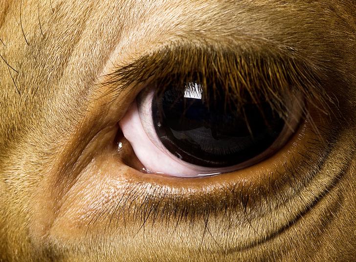 Фото №1 - Лазерные коровы, мухи-алкоголики и другие новые открытия