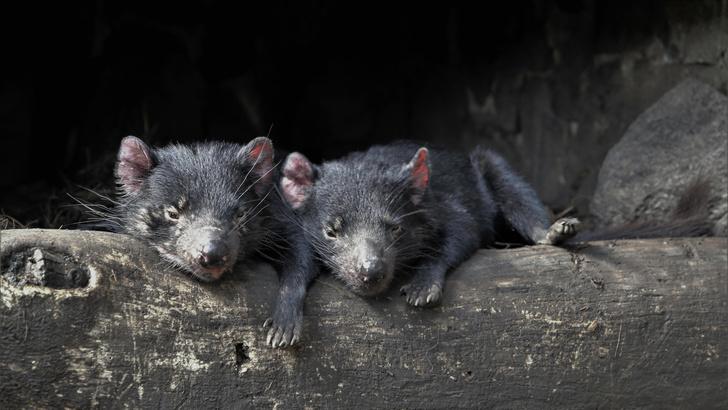 Фото №1 - Тасманийские дьяволы родились в Австралии впервые за 3000 лет