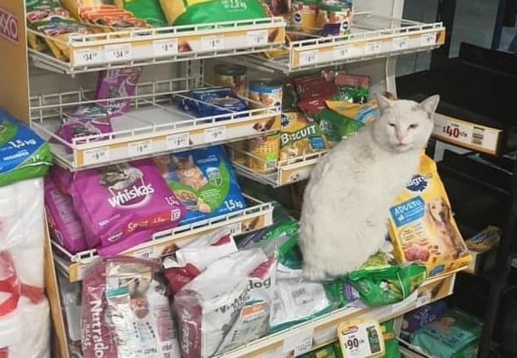 Фото №1 - Бродячий кот заманил прохожую в отдел с кормами для животных и не только получил еду, но и обрел дом (видео)