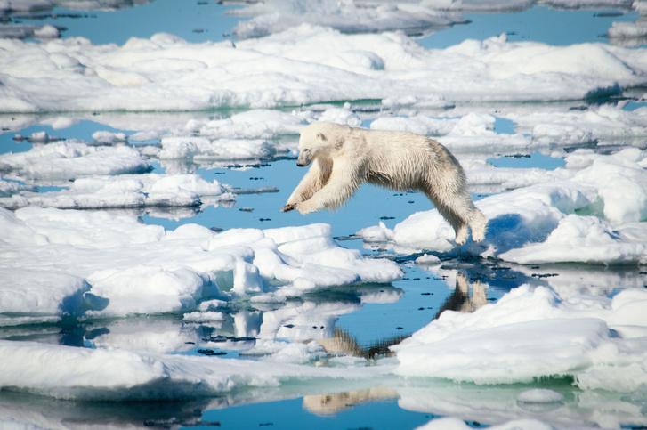 Фото №1 - Ученые выяснили, как охотятся белые медведи