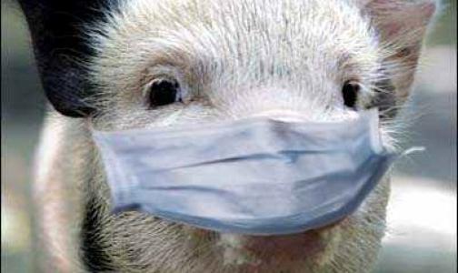 Фото №1 - Африканская чума свиней подобралась к Петербургу
