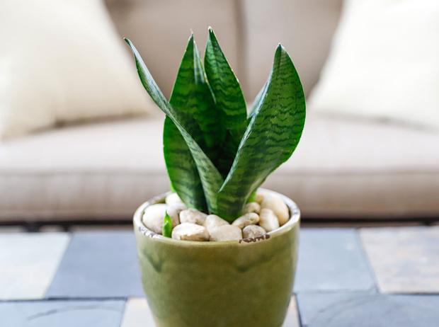 Фото №3 - Домашний доктор: 5 комнатных растений, которые защищают от вирусов
