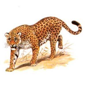 Фото №1 - Леопардов будут разводить под Краснодаром