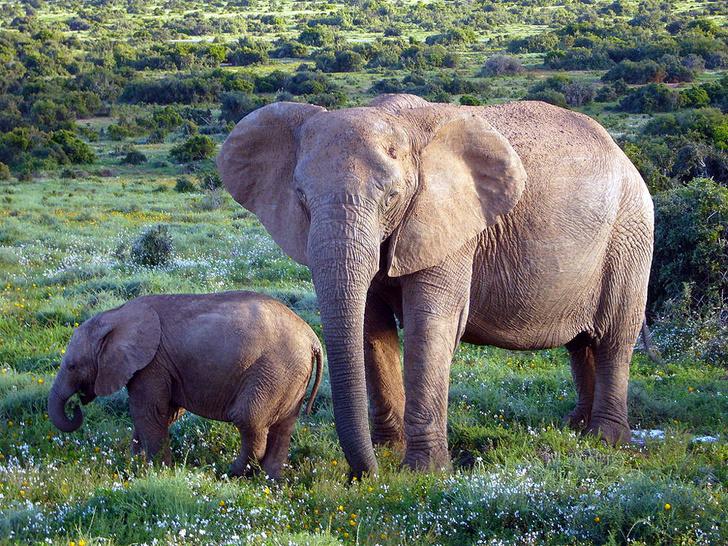 Фото №1 - Кого боятся слоны