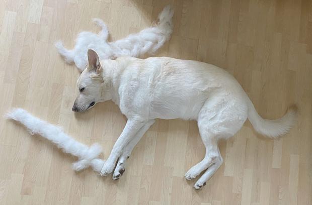 Фото №3 - Девушка создает забавные образы для своей собаки из ее собственной шерсти (много фото)