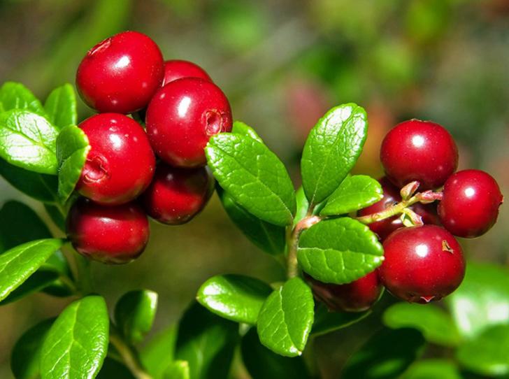 Фото №3 - В своем отечестве: самые полезные осенние ягоды
