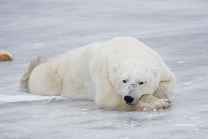 Фото №1 - Белые медведи могут исчезнуть к 2100 году