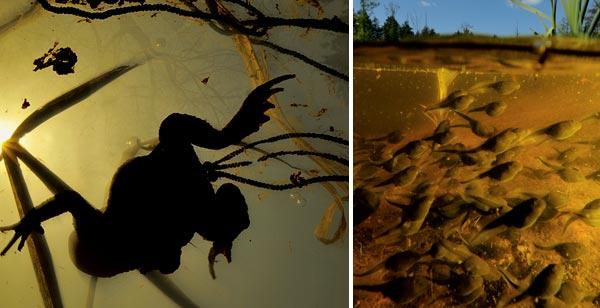 Фото №2 - Тяжела ты, жабья доля