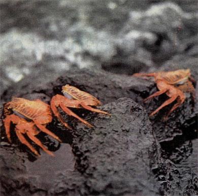 Фото №2 - Про краснозобых фрегатов, остров «голубых лапок» и «аквариум Айялы»