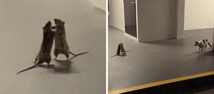 Фото №1 - Кот с опаской наблюдает за дракой двух крыс (видео)