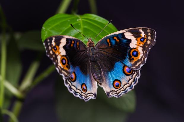 Фото №7 - 10 бабочек, крылья которых похожи на полотна импрессионистов