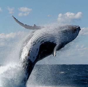 Фото №1 - Ученые расшифровали язык китов
