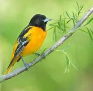Фото №1 - Птицы с ярким оперением больше подвержены радиации
